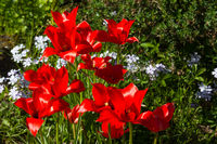 Close up of red Bokhara tulips