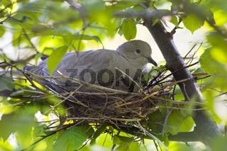 Türkentaube beim Brüten (Streptopelia decaocto) - Eurasian collared dove  in a  nest