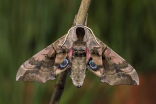 Abendpfauenauge, Smerinthus ocellata, eyed hawk-moth