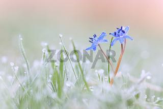 Frostiges Blausternchen
