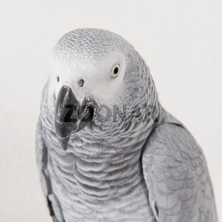 Portrait parrot in studio