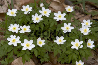 Buschwindroeschen, Anemone nemorosa, Wood anemone, Thimbleweed