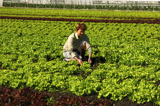 Salatproduktion, Grosses Moos, Schweiz