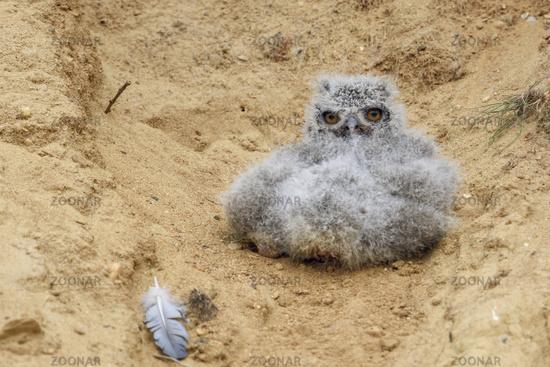 big eyes... Eurasian Eagle Owl *Bubo bubo*