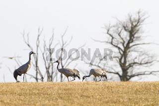 Grauer Kranich, Common crane, Grus Grus