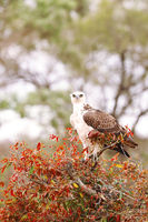 young martial eagle, Kruger NP, South Africa
