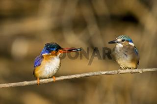 Hauben Zwergfischer, Malachit Eisvogel (Alcedo cristata), Okavango, Botswana, Afrika, Malachite Kingfisher, Africa