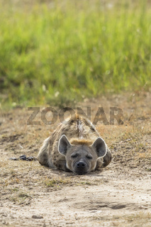 Tired Hyena lying and sleep on the ground
