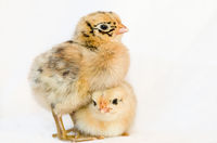 Chick of