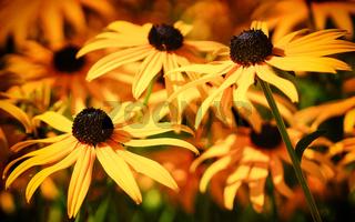 Gewöhnlicher Sonnenhut, Rudbeckia fulgida