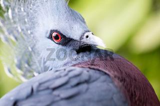 Victoria Crowned bird (Goura victoria)