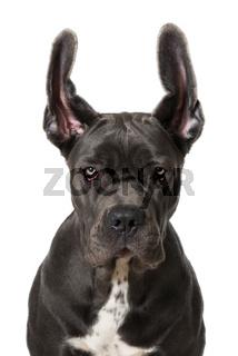 Cane Corso mit fliegenden Ohren