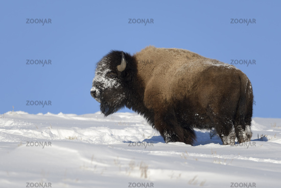 snow and blue sky... American Bison *Bison bison*