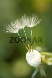 Loewenzahn(Taraxacum officinale)