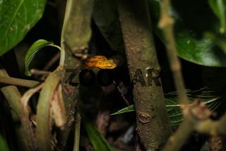 Eyelash Pitviper hiddenin a bush
