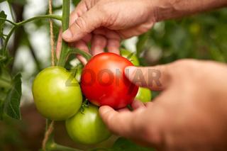 senior farmer picking tomatoes at farm greenhouse