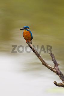 Eisvogel - Talangama Wetlands, Sri Lanka