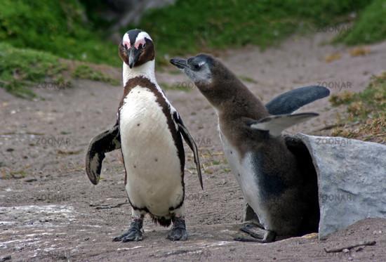 African penguin, Jackass Penguin, South Africa