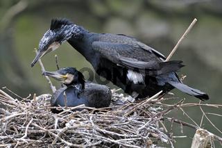 Kormoran , Phalacrocorax carbo, Paar auf Nest