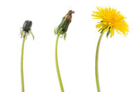 Dandelion flower in three phases