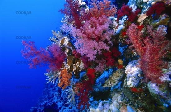 Weichkorallen im Roten Meer Hembrichs Bäumchenkoralle (Dendronephthya hemprichi)