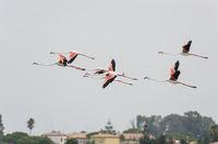 Greater flamingo flying, Phoenicopterus roseus, Rosaflamingo