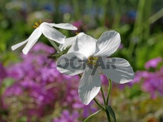 Phlox stolonifera 'Ariane', Kissenphlox, Flammenblume