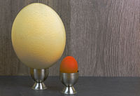 Comparison of chicken egg and ostrich eggs