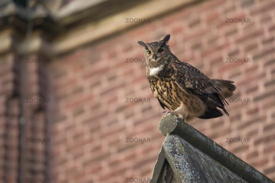 courting male... Eurasian Eagle Owl *Bubo bubo*