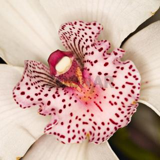 Rosa Orchideenblüten - pink orchid blossoms