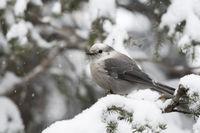 in snowfall... Grey jay *Perisoreus canadensis*