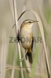 Schilfrohrsänger (Acrocephalus schoenobaenus) - Sedge Warbler