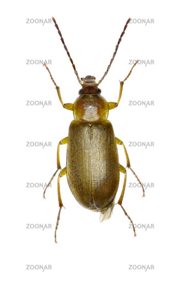 Sulphur Beetle on white Background  -  Cteniopus sulphureus (Linnaeus, 1758)