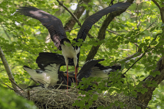 feeding its chicks... Black Stork *Ciconia nigra*