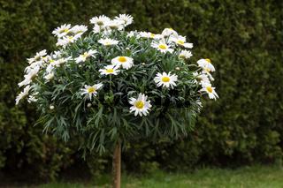 Blühendes Margeritenbäumchen (Leucanthemum) im Garten