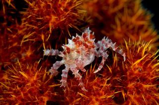 Hoplophrys oatesii, Schleierbäumchen Spinnenkrabbe
