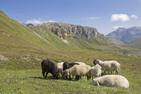 Sheeps - summer in the mountains