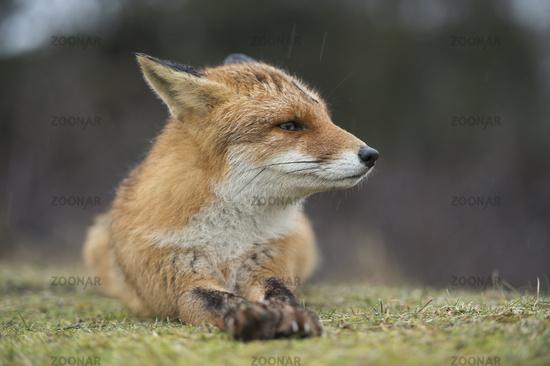 close-up... Red Fox *Vulpes vulpes*