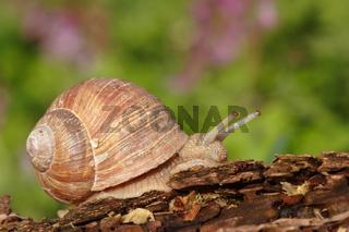 Weinbergschnecke, Helix pomatia, Edible snail, Burgundy snail