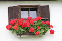 Old window with red geraniums