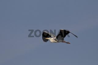 Graureiher, Ardea cinerea, gray heron