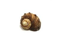 Sea Shell Isolated on White Background Photo image