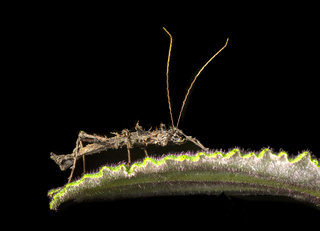 Dornige Parobrimus Gespenstschrecke, Ecuador