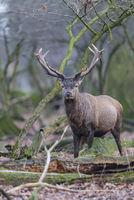 Red Deer, Cervus elaphus, Rothirsch