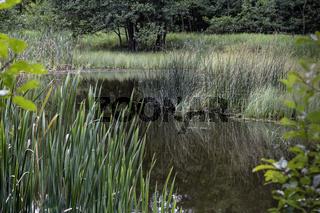 Schilfzone am Teich, September