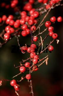 rote Beeren, Zwergmispel
