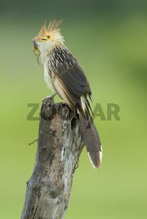 Guira Cuckoo with frog in beak. Brazil.