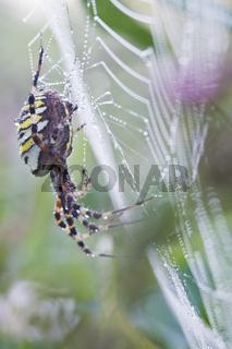 Wespenspinne, Zebraspinne, Seidenbandspinne, (Argiope bruennichi) - Wasp spider (Argiope bruennichi)