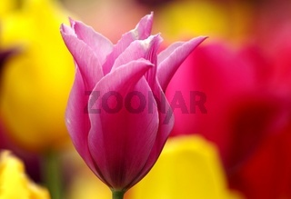 Blütentraum in pink
