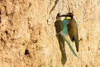 bee-eater on the breeding tube